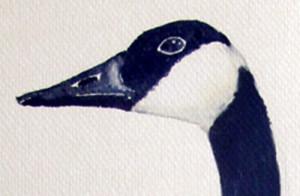 canadian goose face